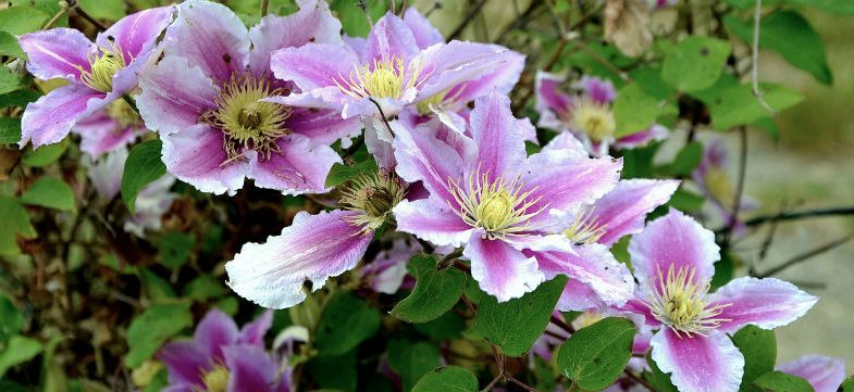 Clematis problems – what's wrong with my clematis