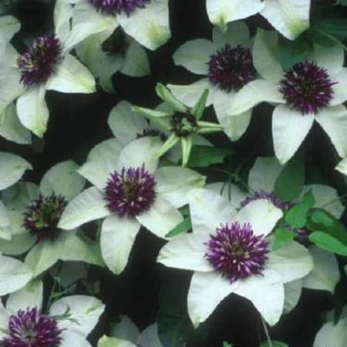 A truly stunning option for those who perhaps want a combination of the whites provided by the Alba plena and the purples provided by almost any other variety, this clematis is the winner. This is going to provide an abundance of creamy white flowers that span between 7 and 10cm across which are adorned with thick, richly purple stamens. You will get your primary flush between the end of spring and the beginning of Summer with sporadic secondary flushes during the autumn.