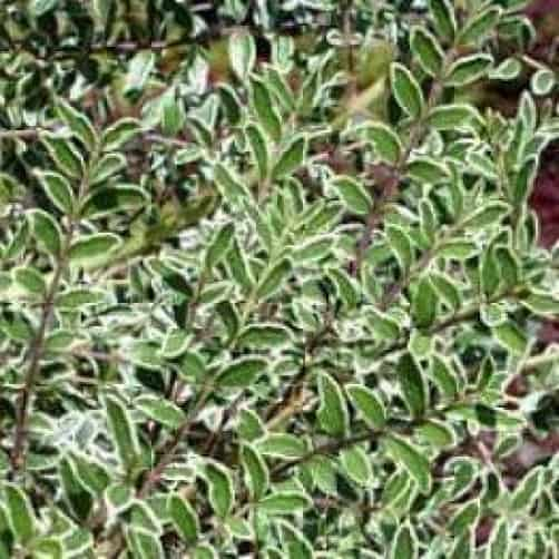 Lonicera silver beauty - evergreen shrub