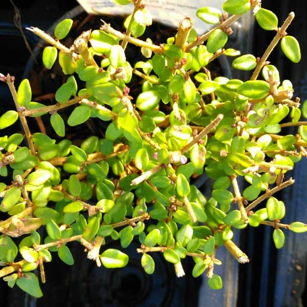 lonicera tidy tips