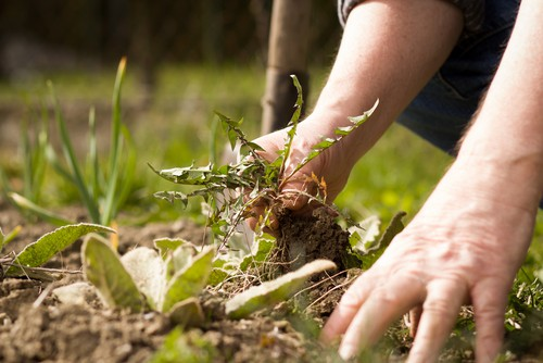 If you have incredibly large weeds and you simply can't pull them out of the ground you can always cut off as much as you can. Deadheading will at least give you a few weeks of weed-free garden time but you will need to go back and keep pruning time and time again.