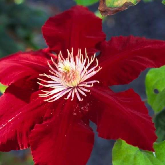 Rebecca is a red clematis, with velvety flowers that are rich in colour, adorned with cream-coloured stamens and spanning 12-18 cm. They fall under Group 2 which means you get to enjoy the beautiful red colour twice each season. This variety is shade tolerant but requires moist soil.