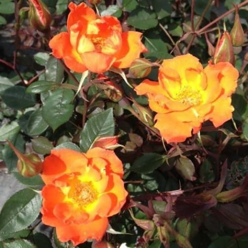 Miniature climbing rose warm welcome. This is the perfect patio climber for smaller gardens, very disease resistant and accepting of container growth. If you put it in your a border or a wall it will grow over it and reach Heights of 180cm and width of up to 90 centimetres.