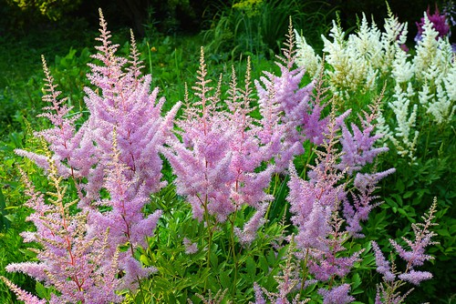 Astilbe - great for shade and wet soils