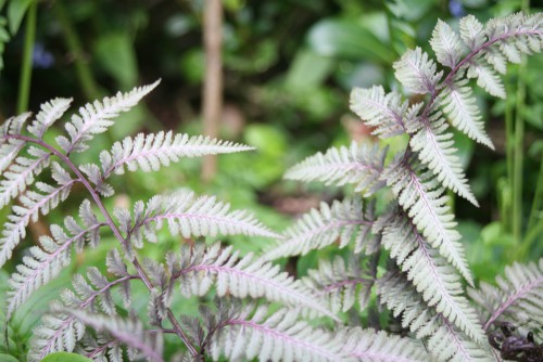 Athyrium niponicum - Japanese painted fern - one of the most stunning shade tolerant ferns