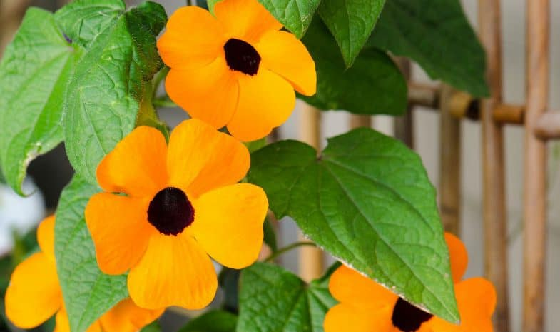 Best Climbers For Pots – 10 Different Climbers To Inspire