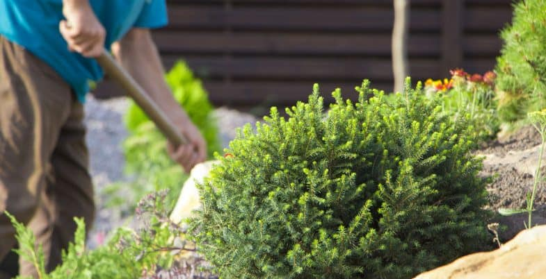 Top 10 Dwarf Conifers – Small conifer for small gardens