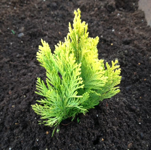 This popular Dwarf Evergreen takes on a conical shape and produces flat sprays of foliage that ascend upward in a stunning display of green and golden yellow. It will grow most effectively in a sunny location. Given its slow growth pattern of up to 15 centimetres per year, it is perfect for containers, sunny borders, or smaller areas of your garden where it will provide colour all year round. It grows well in moist, well-drained soil and prefers full sun or partial shade. It is a very low-maintenance plant with no pruning required and only grows to around 50-100cm tall.