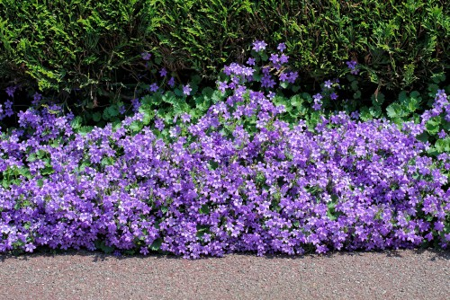 This is one of the best bell flowers you can choose especially if you need to fill in space between your stepping stones, add some accent to a rock garden, or give your garden a beautiful purple flower to trail over your walls.