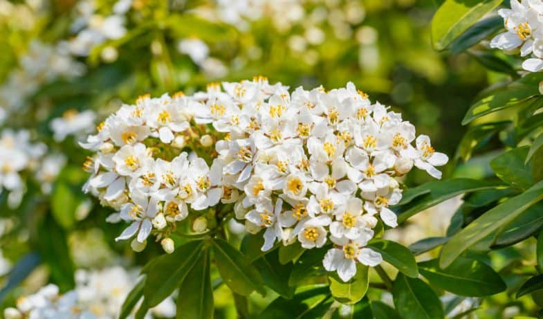 Choisya Ternata Care – The beginner's guide to these stunning shrubs