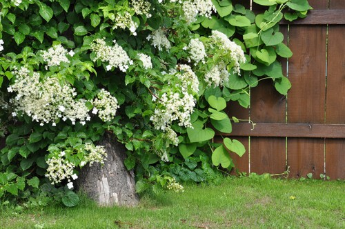 If there is an area of your garden where you want some privacy, perhaps natural growth that creates a privacy screen or you simply want to cover up an unsightly garden shed, climbing hydrangeas are the best solution.