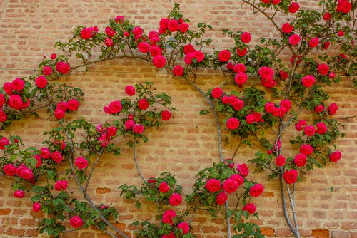 Climbing roses are not self clinging so need a support to climb, you can either fix horizontal wires 30cm apart or use trellis. You should have 2-4 strong stems which can be spread out evenly to fill the space and tied into place onto either the horizontal wires or trellis. Tire in further shoots as they grow. If you have trouble getting the branches to shoot, cut back the tips of the shoot to encourage new growth.