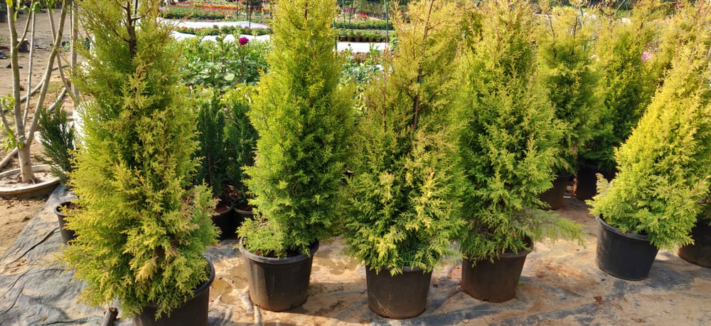 When you set about planting your Conifer hedge you want to do it either in the springtime or in the autumn while the ground is still warm and they will put out some root before winter really sets in. In general, springtime is best, particularly early spring because it allows the root system time to establish itself and has all summer to get established. Similarly planting an Autumn allows the plants to establish themselves a little before winter time so that they can establish their strength long before the first spring.