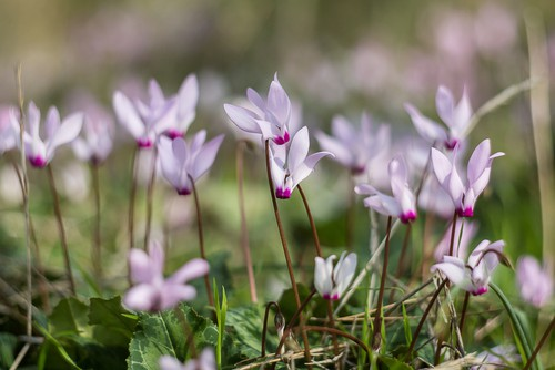 Cyclamen persicum which is a free-flowering and hardy plant. Normally though, the Cyclamen persicum is used as an indoor plant so it will mix well with Ophiopogon planiscapus 'Nigrescens' in pots.