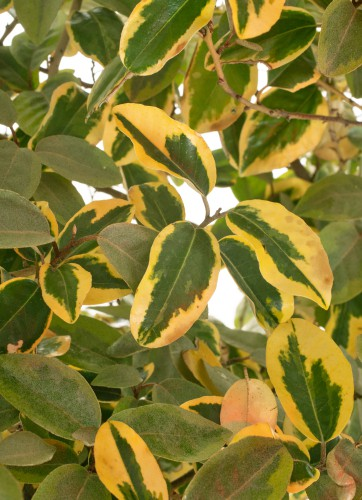 These plants are very sturdy and tolerant of different temperatures, and while they can handle harsh winters found upwards of Scotland they will bear fruit more effectively if they are in a warmer region down south.