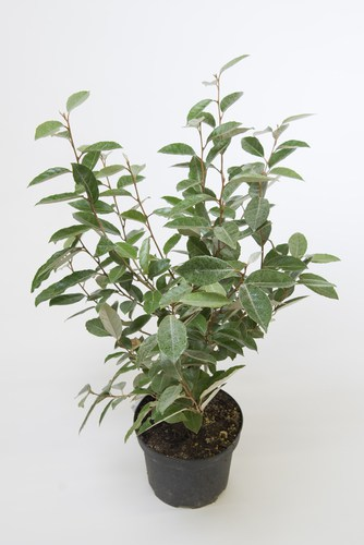 This hybrid broadleaf evergreen is easily grown in well-drained soil with partial sun or full shade. It is tolerant of shade but it does best with full sun. The lack of sunlight will deter flowers but the plant itself will be sustained. This is a very fast growing shrub and just like other shrubs on this list, it is incredibly tolerant of a wide variety of soils even soil that is otherwise considered poor and infertile. As long as you don't have incredibly wet soil or incredibly dry soil it will do just fine.