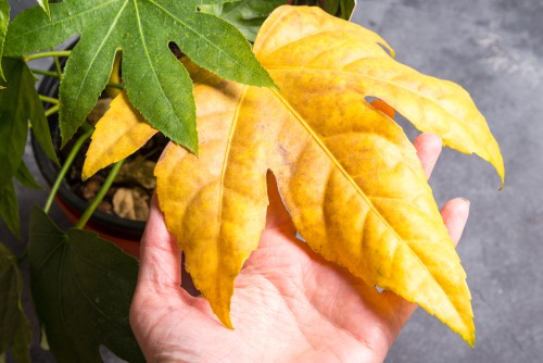 Fatsia Japonica is a tropical looking plant and very tough which means it rarely has issues with diseases and pests but it can still be affected by caps and bugs, aphids, or caterpillars.