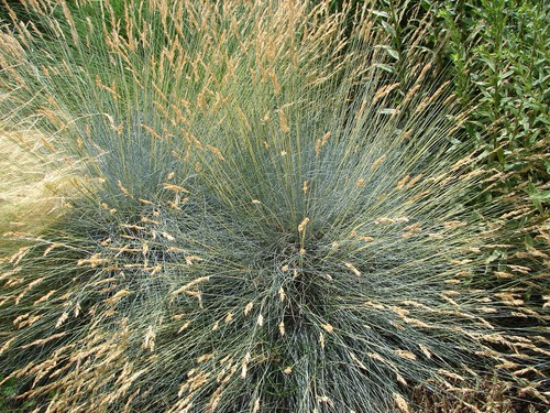 The final option for your coastal garden is a type of ornamental grass called Festuca Glauca which spreads approximately 30cm and reaches heights of only 40cm. It grows very easily in dry or medium soil that is well-drained. It prefers full sunlight which will produce the best foliage but is tolerant of shade.
