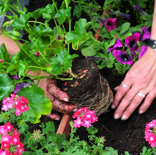When you start planting geraniums, if you purchase them from a nursery ahead of time it's important to look for healthy leaves that don't have any discolouration. The stems on the plants you are buying should be very strong. Any plant that has obvious signs of damage, weakness, or pests should absolutely be avoided, even if it's a plant you have propagated from the season prior.