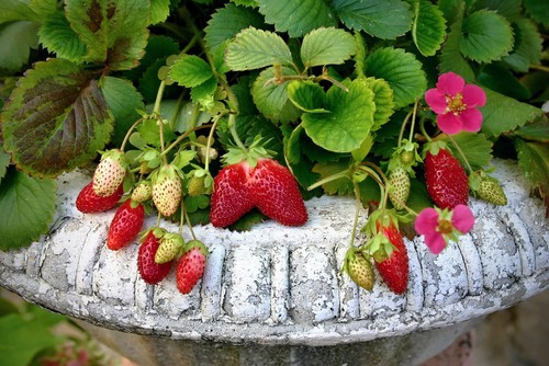 If you are growing strawberries in containers you should follow the same rules as listed above but you will need to use a potting soil mixture rather than just planting them directly into the ground with the existing soil and a mixture of compost.
