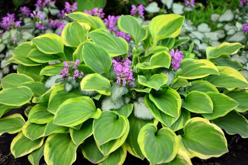 Hosta grow well in wet soils. Hostas are perfect for containers and will thrive in damp conditions and shade. The reason they thrive in containers so well is because of how they grow. They will grow to fit the size of the space provided for them so you don't have to be as cognizant about the size of the container because they will grow to fit that container and if it's a smaller container they will grow more slowly so that they don't maximize the space and outgrow it.
