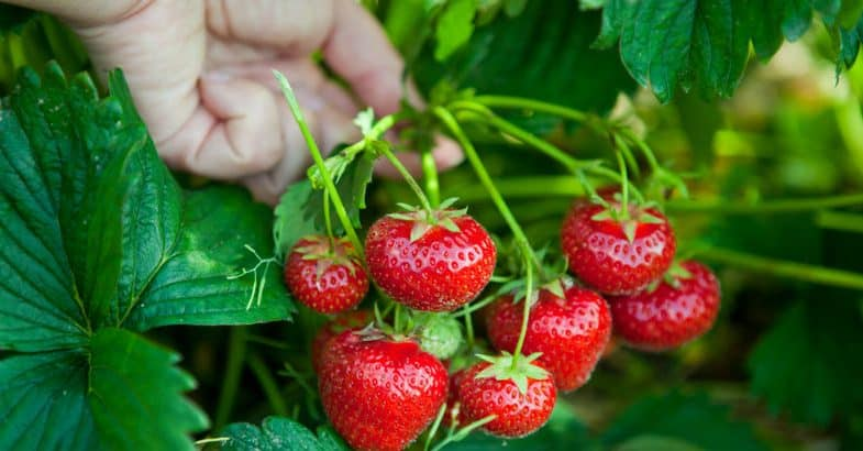 How to grow strawberries – the beginner's guide
