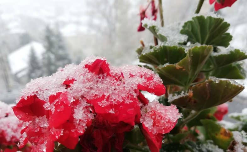 How to overwinter geraniums – grow indoors, let them go dormant or take cuttings