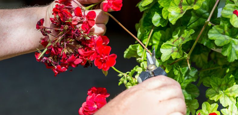 How to prune and deadhead geraniums