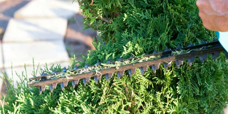 How to prune conifers – how and when to prune correctly