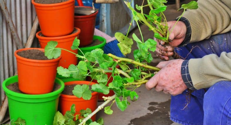 How to take geranium cuttings
