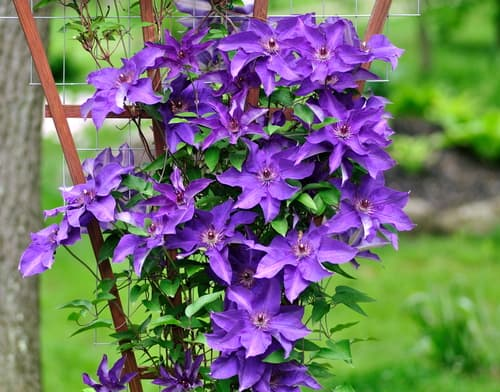 Clematis 'The President' growing up trellis