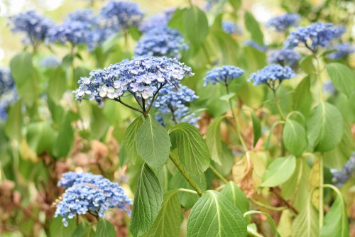 One reason your hydrangea leaves might be turning brown is because of an issue during transplantation. If you recently transplanted your hydrangeas to a new spot whether from an existing area in your garden or from a nursery, hydrangea could simply be turning brown because it doesn't have enough water.