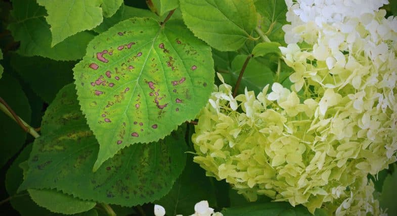 Hydrangea pests and diseases