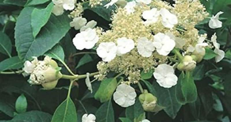 Almost all climbing hydrangeas have one thing in common, they are all a bit slow to really get moving once they're planted. Most of the time it can take a few years for that collection of flowers to a mass but with this variety you can enjoy rich foliage and as it starts to grow beautiful, white frothy flowers. The flowers can be removed as soon as they appear so that the growth is expedited.