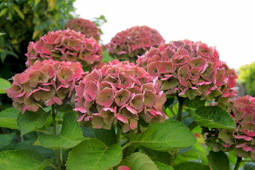 The classic mophead hydrangeas are of course the quintessence of the hydrangea family and if you have a shaded area in your garden rest assured there are mophead hydrangea varieties that will thrive in the shade.