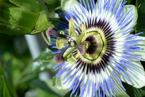 Passion flowers are breathtaking blossom that offers a sweet smell as a wonderful bonus. The quintessential passion flowers the blue crown which will grow quite effectively up a trellis or over a wall and can reach up to 7 m tall.