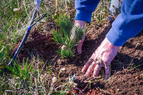 When you are ready to plant your conifer you should dig a hole that is no more than the size of the root ball in depth. The hole should be twice as wide as the root ball.