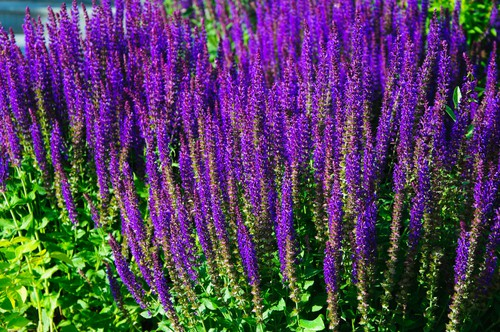 Bolkan Clary is a herbaceous perennial that will span between 30 and 60cm in spread and height. It produces blue-violet blooms between June and September.