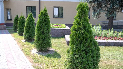 The problem with most conifer is that they do not grow from old wood, this means, if you cut into old wood it will likely not regrow leaving you with bare brown patches which most people are familiar with. The only exception is Thuja plicata and Yew trees which will regrow if pruned hard. This is why we now recommend planting Thuja plicata is planting a new conifer hedge.