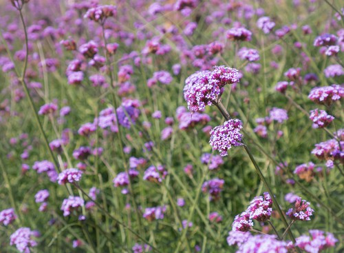 Colloquially referred to as the tall verbena, this perennial offers rose violet and lavender blooms between June and the first frost. It will thrive in full sun or partial shade and is very low maintenance with just the occasional deading heading needed.