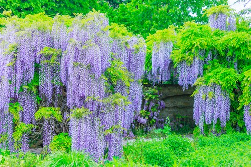 Wisteria is a wonderful plant to grow up any wall or structure because it is so strong and grow so quickly. If you are looking for something to quickly cover an unseemly structure or two add a vibrance of beautiful blooms, this is a good option.