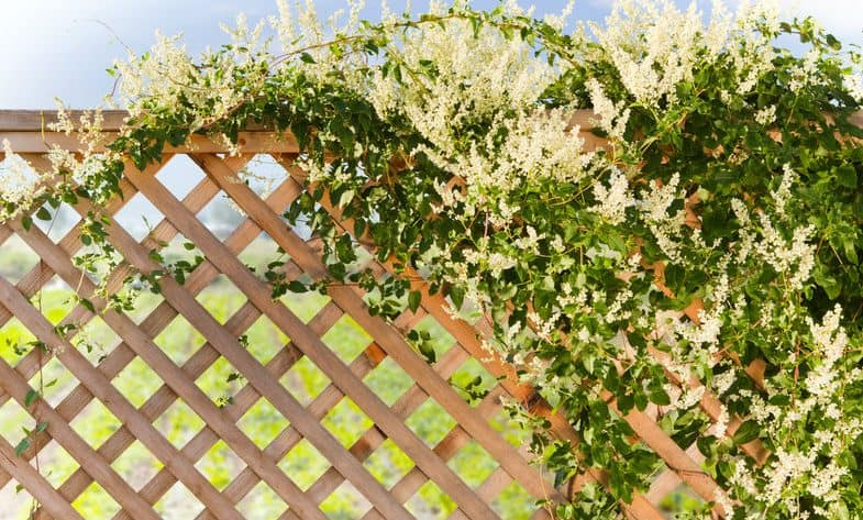 Top 10 Climbing Plants For Fences & Trellis