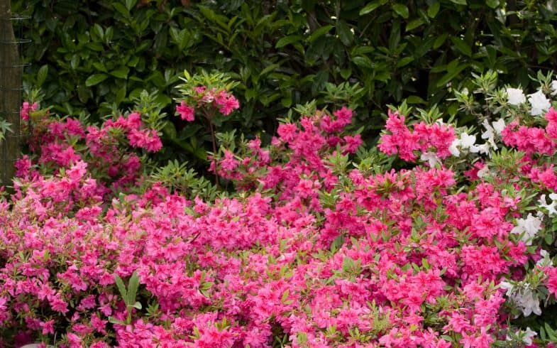 Top 10 Evergreens Shrubs For Shade