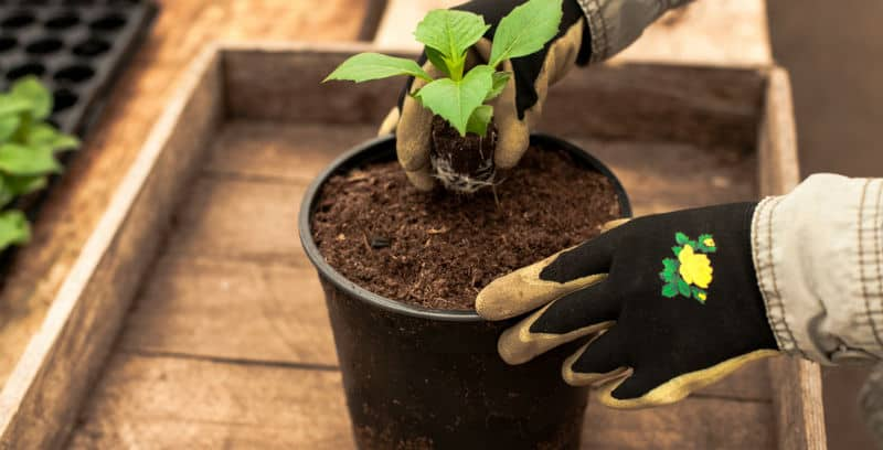 One of the easiest ways to get more dahlias is to take cuttings from growing tubers, in this step by step guide we discuss how to take cuttings from dahlias.