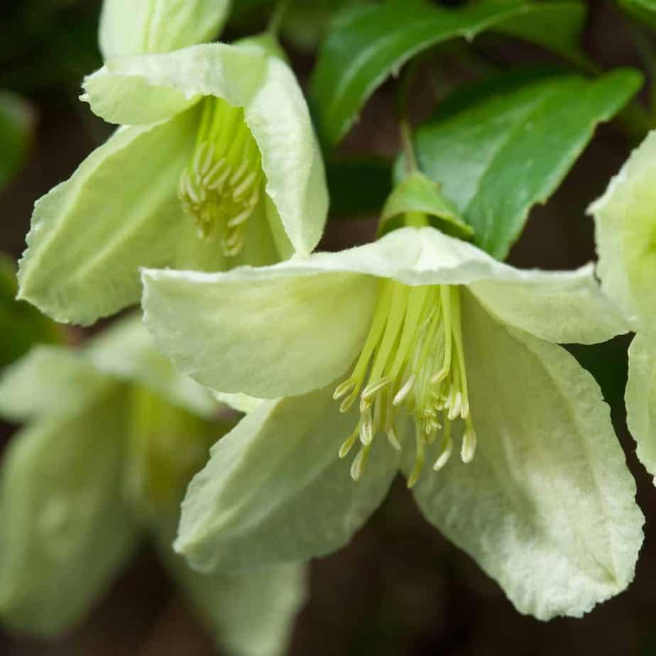 Jingle Bells similarly to the freckles variety provides bell-shaped flowers that bloom throughout the winter. Jingle Bells just like freckles are great varieties to mix with other clematis so that you can achieve year-round flowers of various colours and sizes.