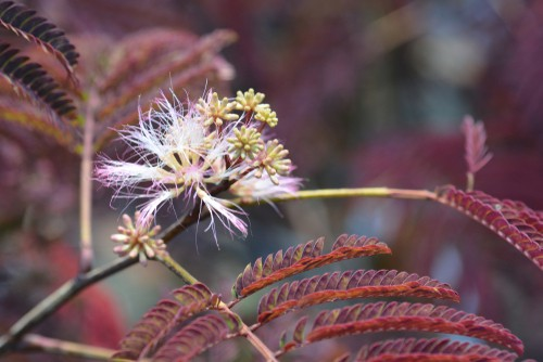 The mimosa tree is a very fast-growing, deciduous option for your garden but what a stunning tree. As it grows it will produce an umbrella-shaped canopy that is dazzling and the fern-like leaves take on a bronze and green appearance.