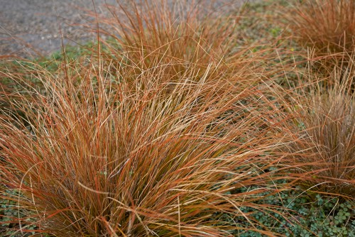 The leatherleaf sedge as it is also known, this stunning ornamental grass has narrow evergreen foliage that offers a unique copper colour. It will stand erect when planted, eventually arching over time.