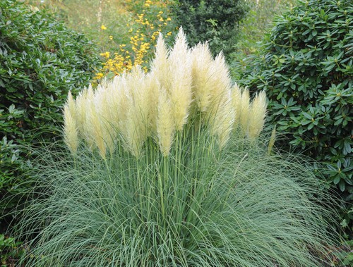 Otherwise known as pampas grass, this delightful ornamental grass is perfect for mid-sized gardens but it does need plenty of space and makes an eye-catching focal point in the garden.