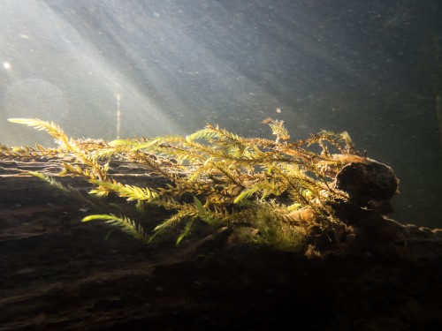 Part of the moss family, this underwater plant will attach itself to things in your pond like logs or rocks. Dark green in colour, the leaves take on a pointed, overlapping arrangement up to the entire stem. At full maturity, the stems get between 20 and 60cm length. There are no flowers or fruit, but the rootlets will attach to whatever is present in your pond and slowly improve oxygen conditions and provide cover for small fish.