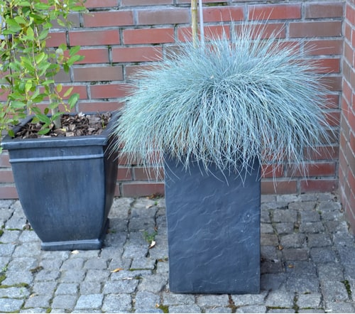 This group of ornamental grasses is great for containers as it grows somewhat smaller than most ornamental grasses and comes in a range of colours from lush green but we think the blue varieties such as 'Blaufuchs' have the most appeal making them an excellent ornamental grass for containers.